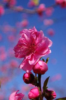 20070307-peach02.jpg