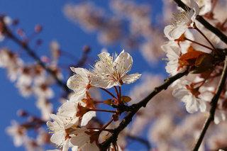 20070313-cherry01.jpg