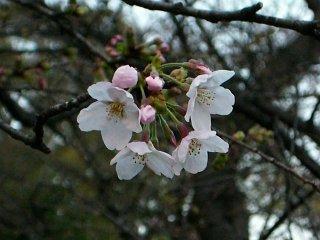 20070326-sakura.jpg