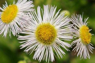 20070426-daisy.jpg