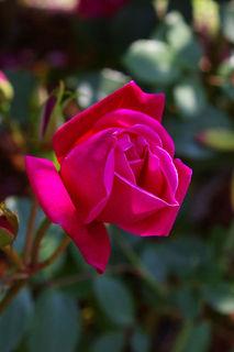 20070508-rose02.jpg