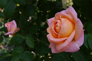 20070508-rose03.jpg