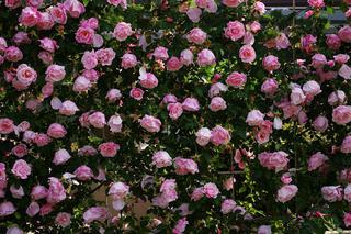 20070508-rose04.jpg