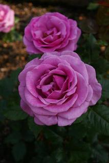 20070508-rose05.jpg