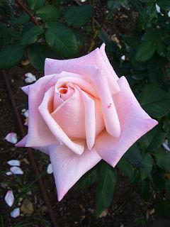 20071109-rose01.jpg