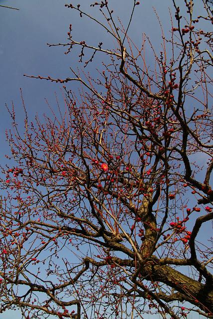 20080110-plum-red02.jpg