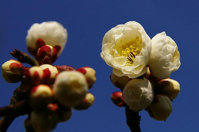 20080110-plum-white01.jpg