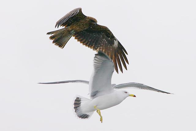 20080217-kite-and-seagull.jpg