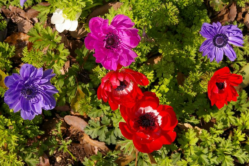 20080324-anemone.jpg