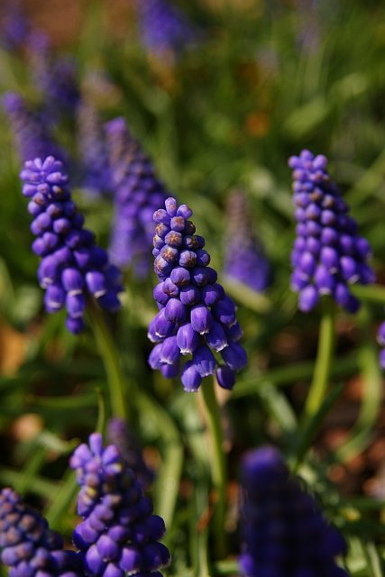 20080324-grape-hyacinth.jpg