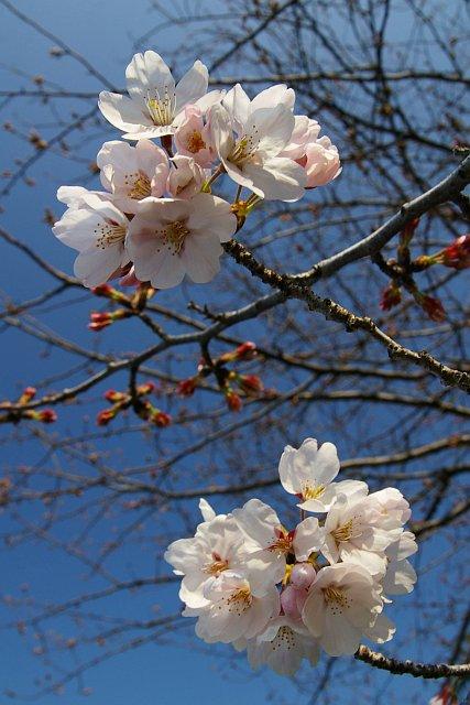 20080325-cherry01.jpg