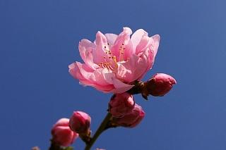 20080325-peach04.jpg