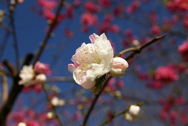 20080325-peach05.jpg