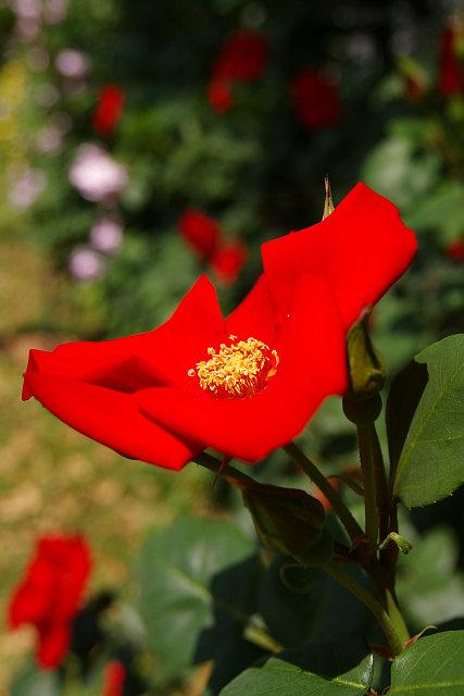 20080506-rose-altissimo.jpg