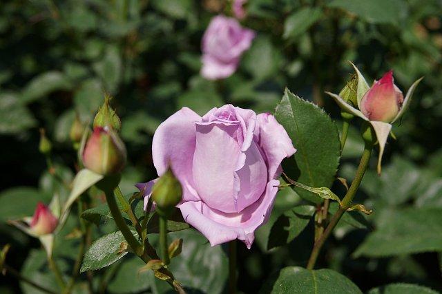 20080506-rose-bluemoon.jpg