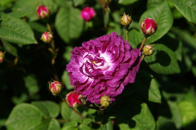 20080506-rose-cardinal.jpg