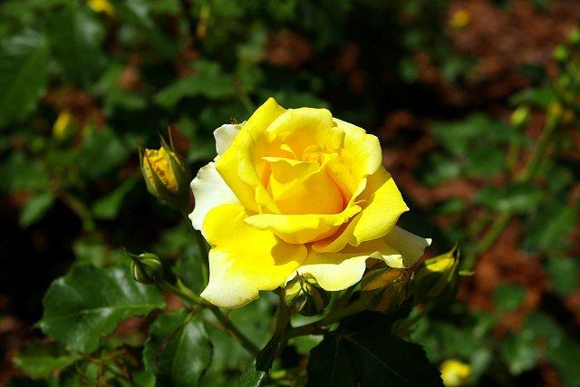 20080506-rose-gold.jpg