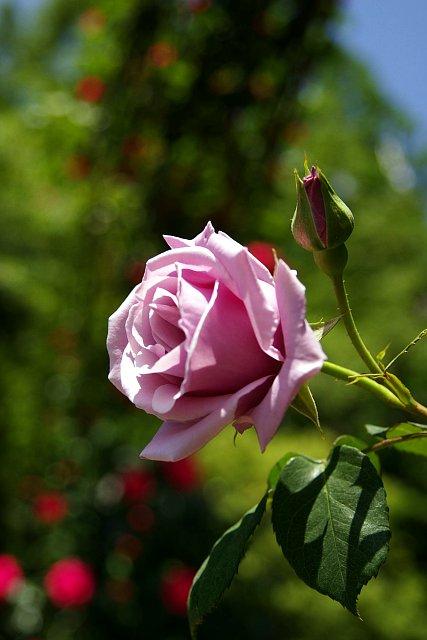 20080506-rose-sterling.jpg