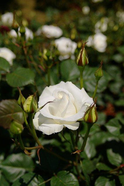 20080506-rose-white.jpg