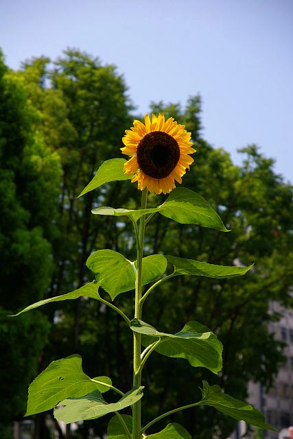 20080803-sunflower.jpg