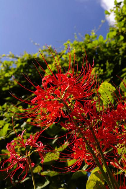 20080922-higanbana.jpg