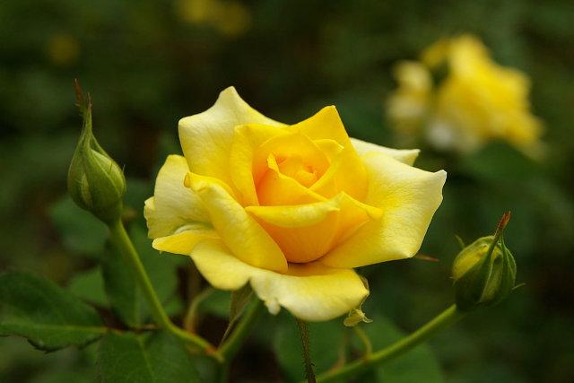 20081004-rose02.jpg