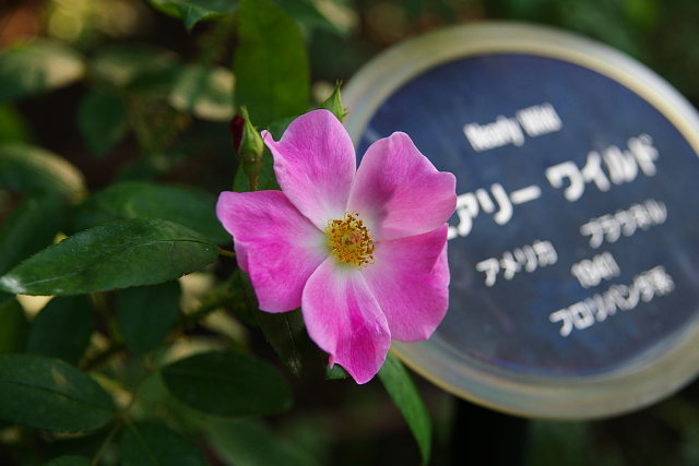 20081004-rose03.jpg
