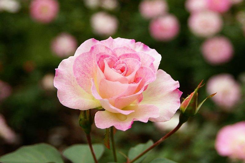 20081109-rose-matiluda.jpg