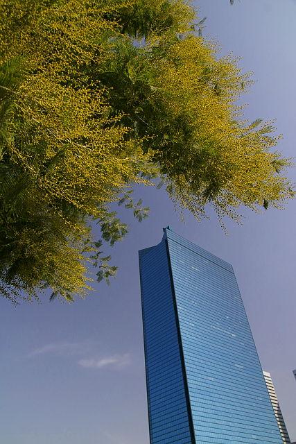 20090215-mimoza.jpg