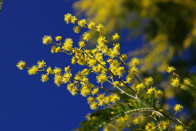 20090301-mimoza.jpg