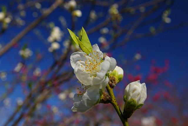 20090301-peach02.jpg
