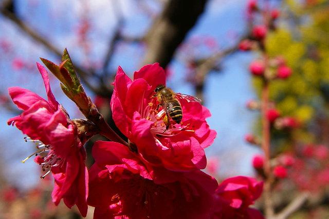 20090307-peach-bee.jpg