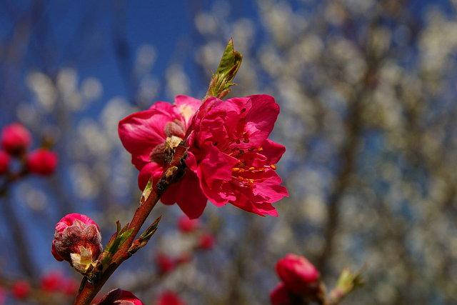 20090307-peach-red.jpg