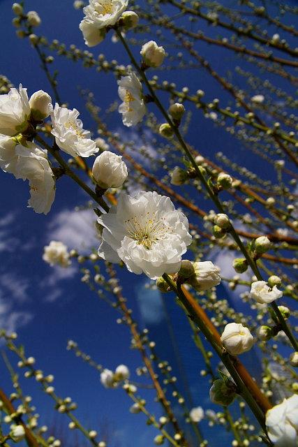 20090307-peach-white.jpg