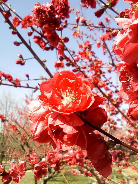 20090315-816sh-peach01.jpg