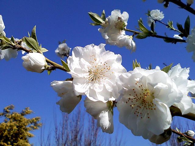 20090315-816sh-peach02.jpg