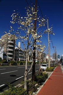 20090315-kobushi02.jpg