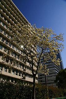 20090315-mokuren02.jpg