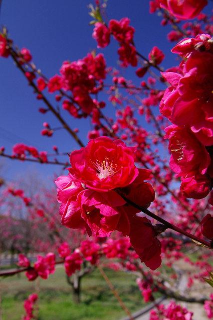 20090315-peach01.jpg