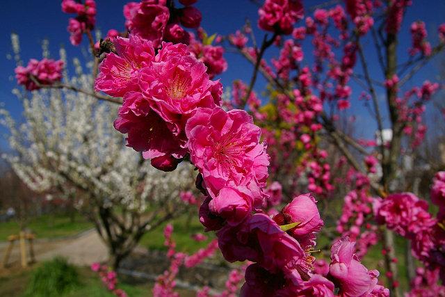 20090315-peach02.jpg