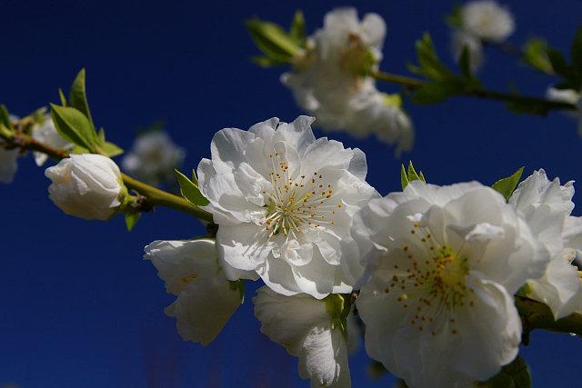 20090315-peach03.jpg