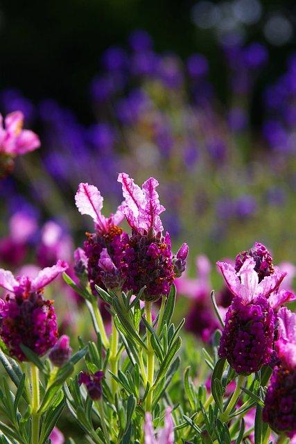 20090503-lavendar01.jpg