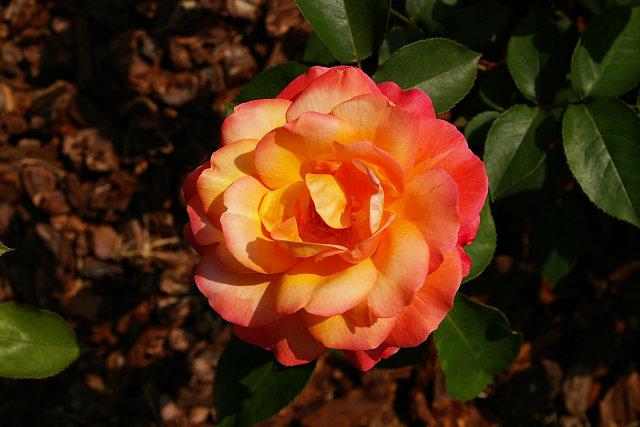 20090503-rose-annefrank.jpg
