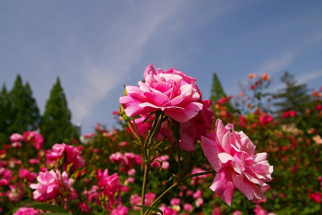 20090503-rose-oldbrush.jpg