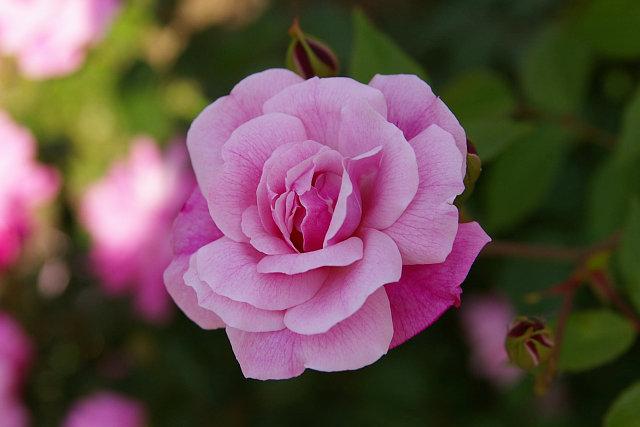 20090503-rose-oldbrush02.jpg