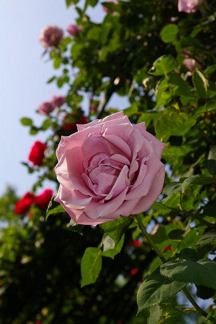 20090503-rose01.jpg