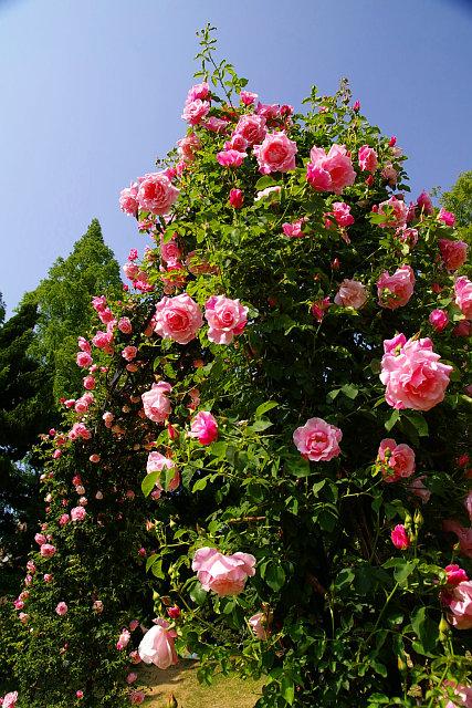 20090503-rose03.jpg