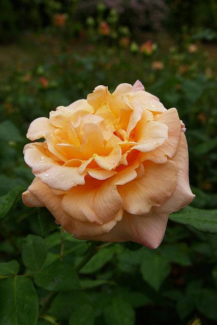 20090510-aplicot-nektar.jpg