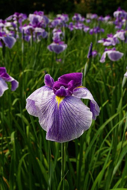 20090531-irisgarden02.jpg