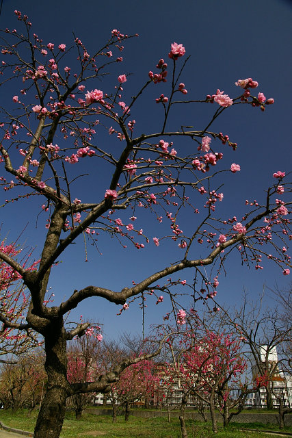 20100322-peach-hagoromo-01.jpg